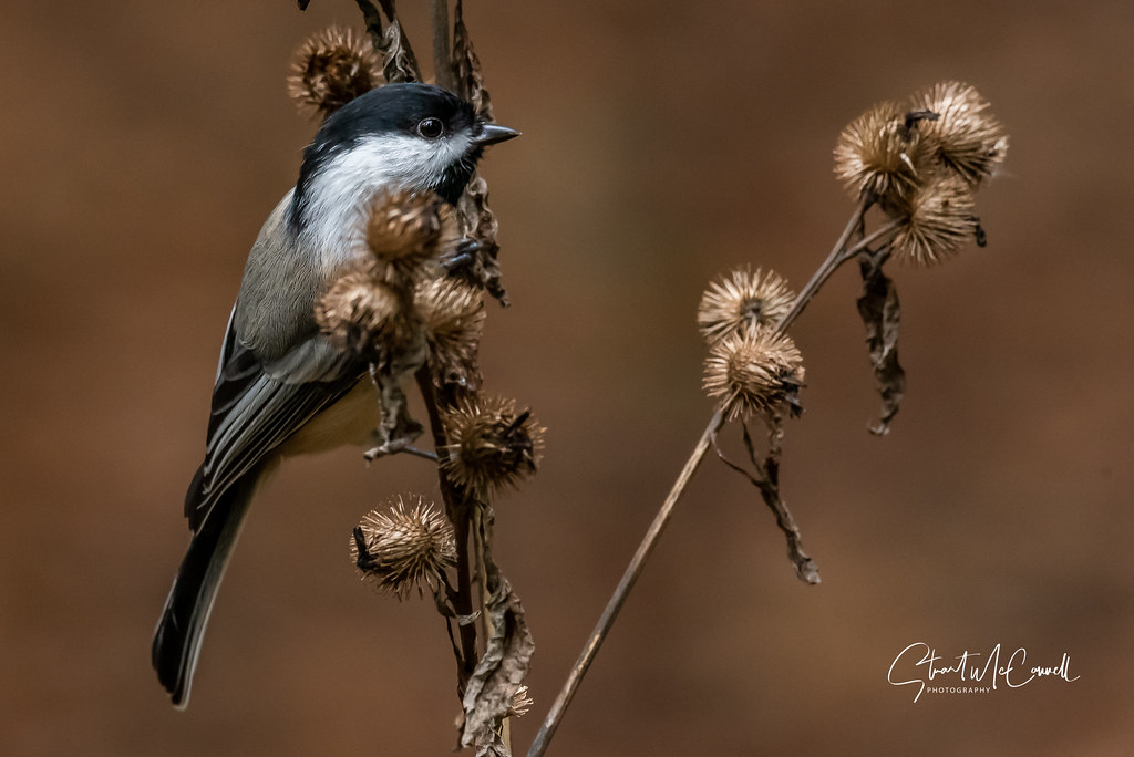 Black capped Chickadee on a burdock
