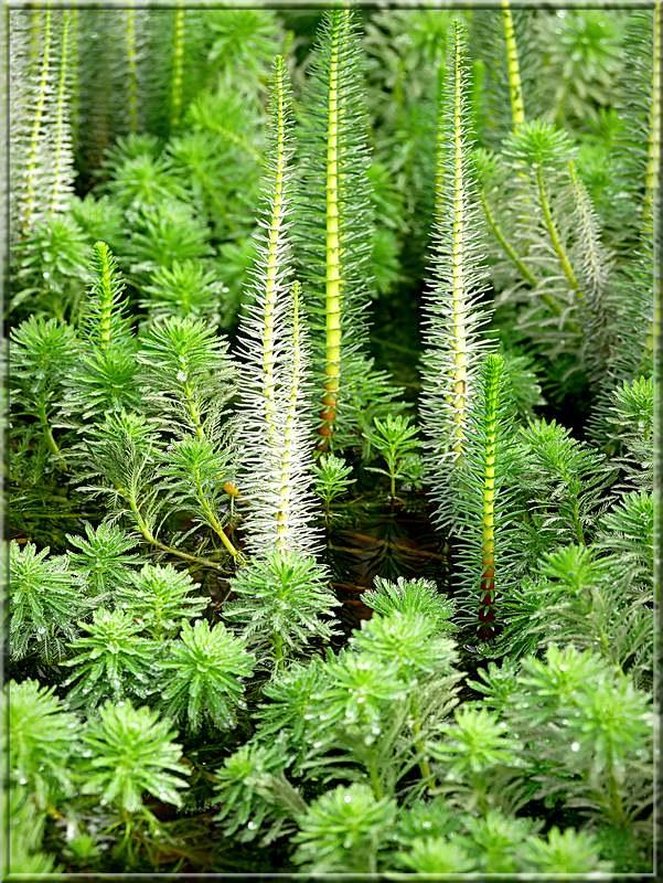 Myriophyllum aquaticum 48959454416_1d4d916ee4_c