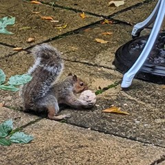 Squirrel Squirrelssonn attempting the atlas-fat-ball lift in the NW6 garden's strongest critter event.