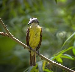 52 Golden-Bellied flycatcher