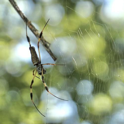 spider trichonephilaclavipes goldensilkorbweaver cullinanpark sugarland spidersilk web