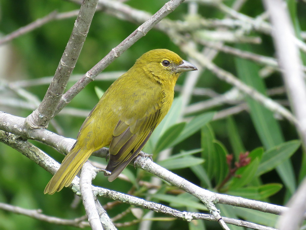 La piranga flava es un ave muy bella que presenta un dimorfismo muy pronunciado entre el macho y la hembra. Mientras el macho es plumaje rojo la hembra es amarilla