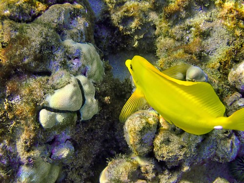 Butterfly Fish on Maui
