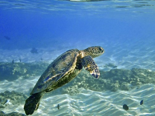 Sea Turtle on Maui