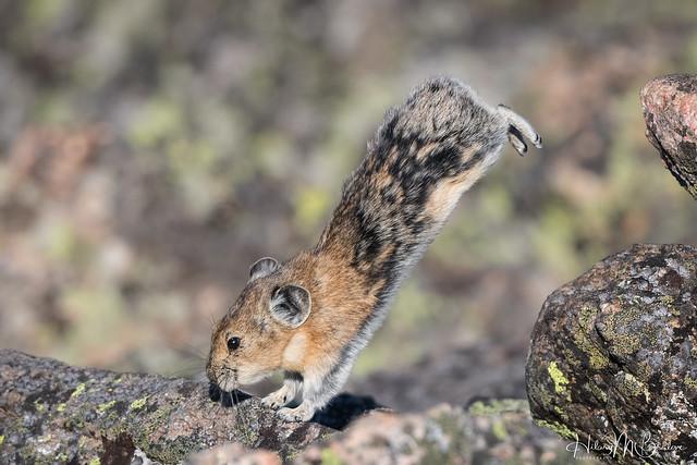 Pika gymnastics!! Handstand!
