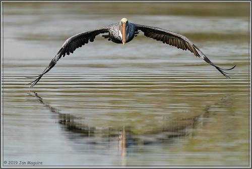 bif pelecanusoccidentalis bird brownpelican pelican wetlands wildlife irvine california unitedstatesofamerica