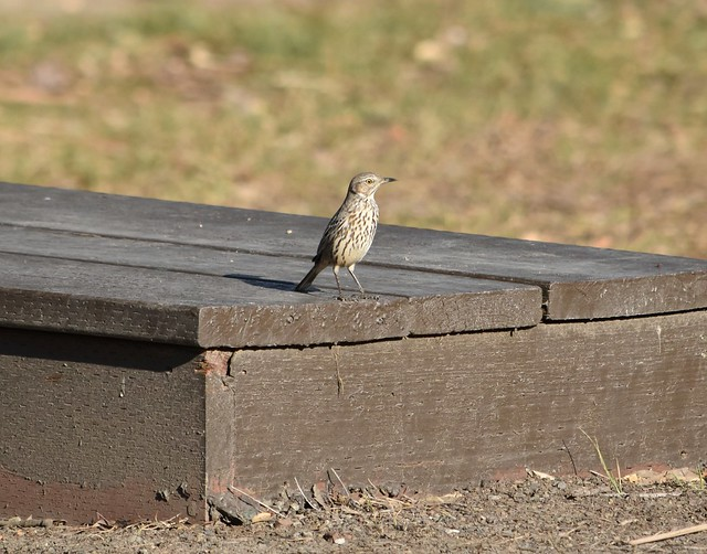 Sage Thrasher at Coyote Hills-Rare for the area