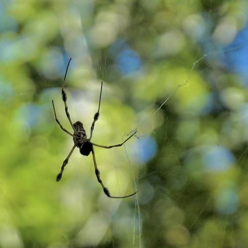 spider web spidersilk arachtober cullinanpark sugarland trichonephilaclavipes goldensilkorbweaver