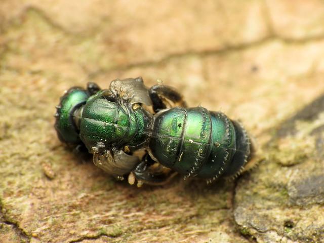 Sweat Bee Pupa