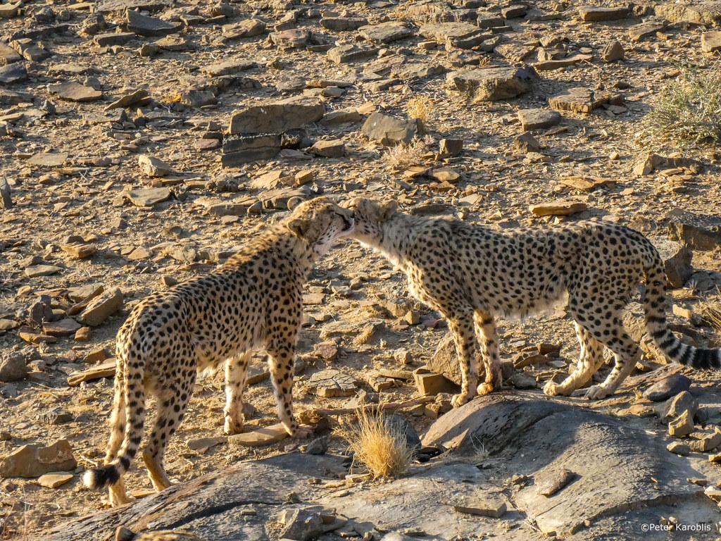 Namibia - Cheetah / Gepard