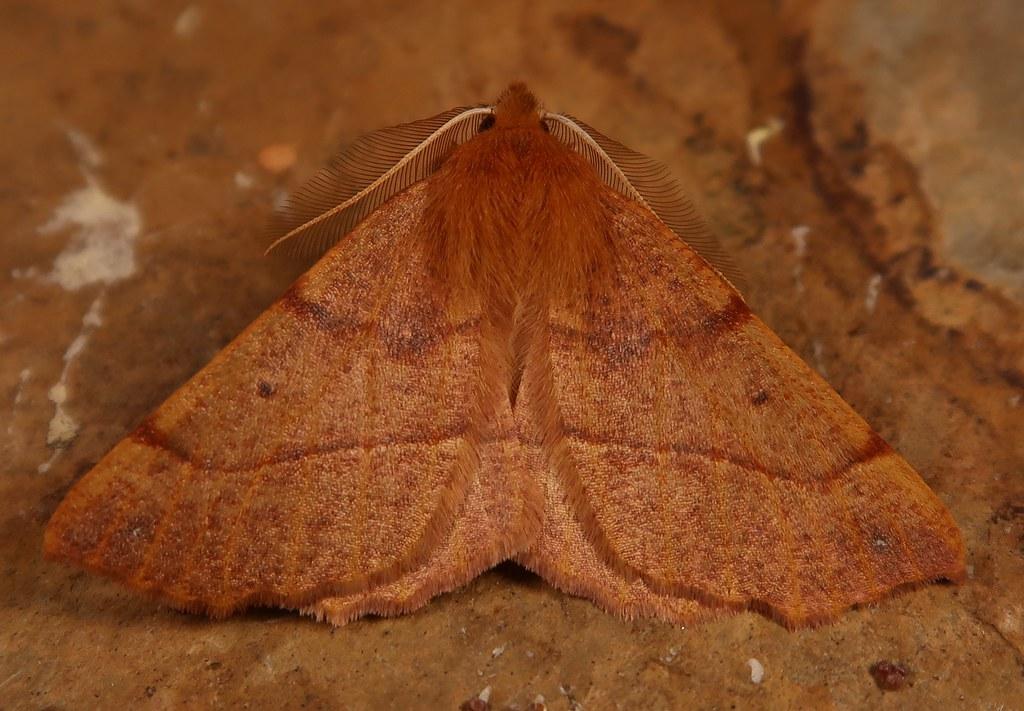 Feathered Thorn (Colotois pennaria)