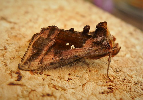 Plain Golden Y. Autographa jota