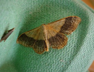 Riband Wave ( dark form)