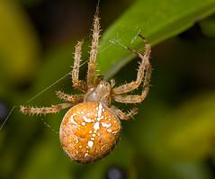 Αράχνη Η Διαδηματοφόρος - Photo (c) hedera.baltica, μερικά δικαιώματα διατηρούνται (CC BY-SA)