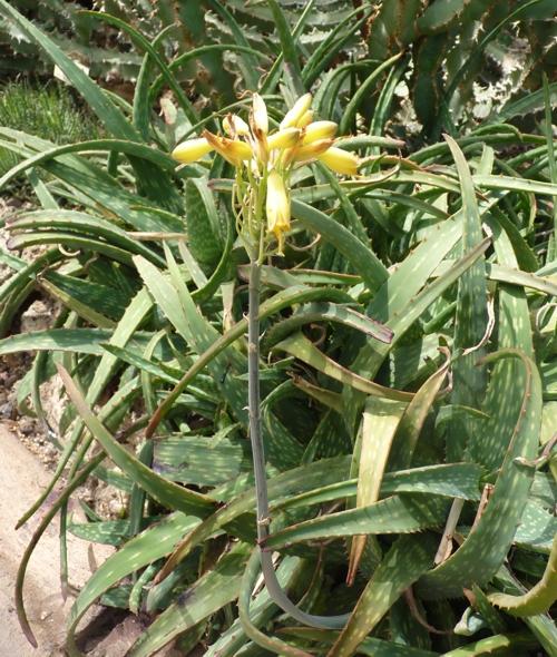 Aloe sinkatana 48961505698_16f9317bcd_o