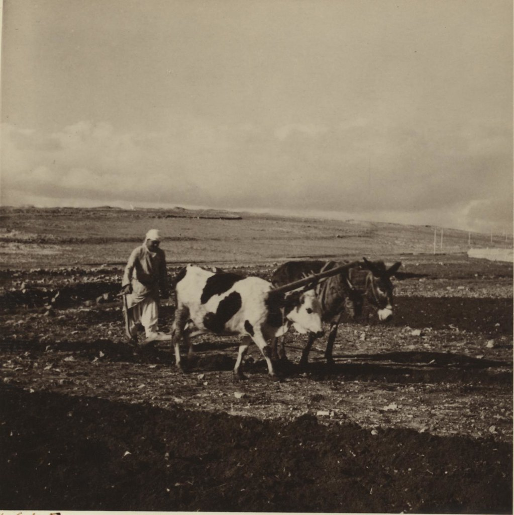 10. 23 января. Вспашка земли по дороге в Рамаллу