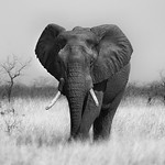 Bull-elephant_4041
