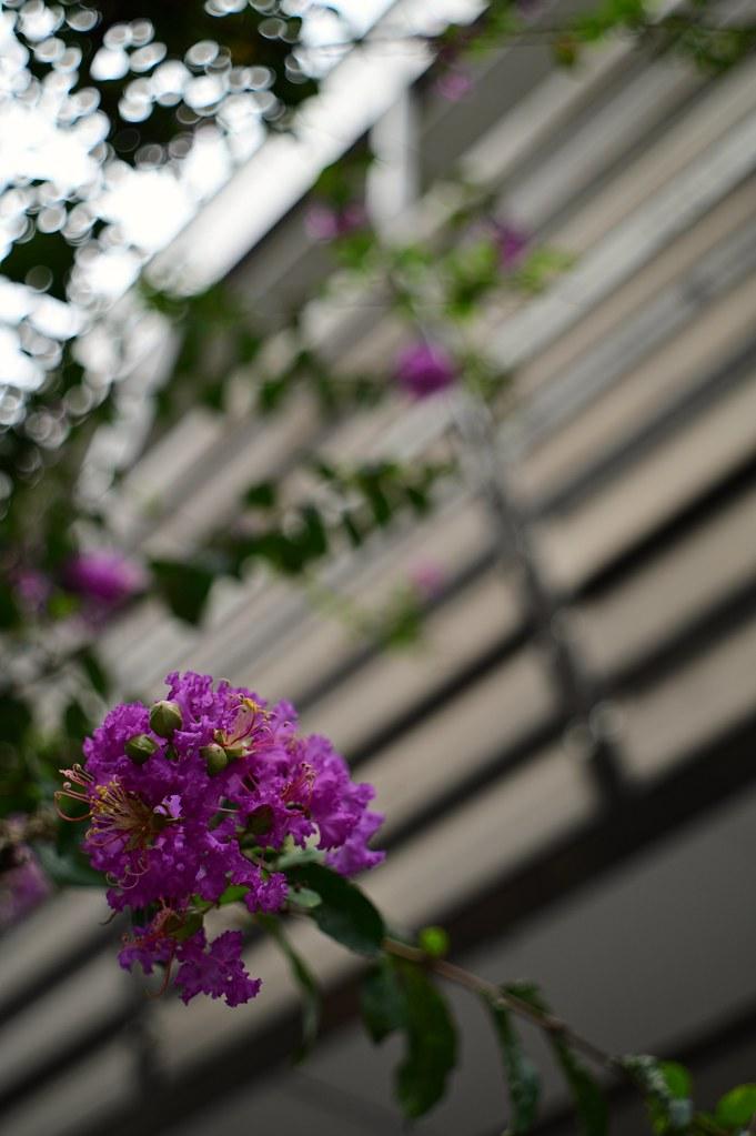 Flower of crape-myrtle in Motomachi town,Yokohama city 2019/09 No.1.