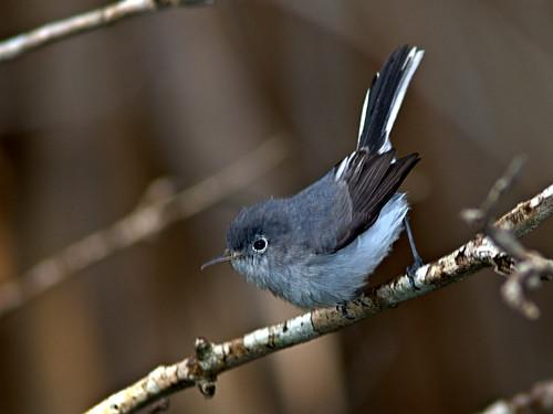 Blue-gray Gnatcatcher 01-20191025