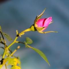 Rosa fresca giovane e forte