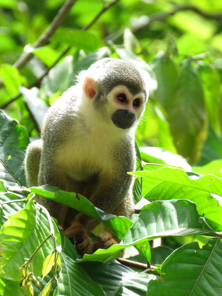 Encontré este tití o mono ardilla en un sendero ecológico en el Amazonas. Es muy escurridizo y su color gris oliváceo le permite camuflarse rápidamente ante cualquier voz de alerta. Caso típico de … Aparece – foto – para dónde se fue?