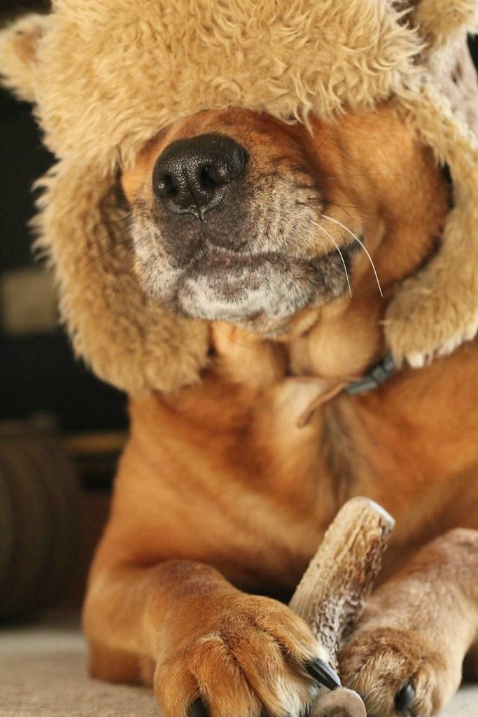 chloe mastiff rottweiler mastweiler