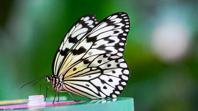 Butterfly - 7609