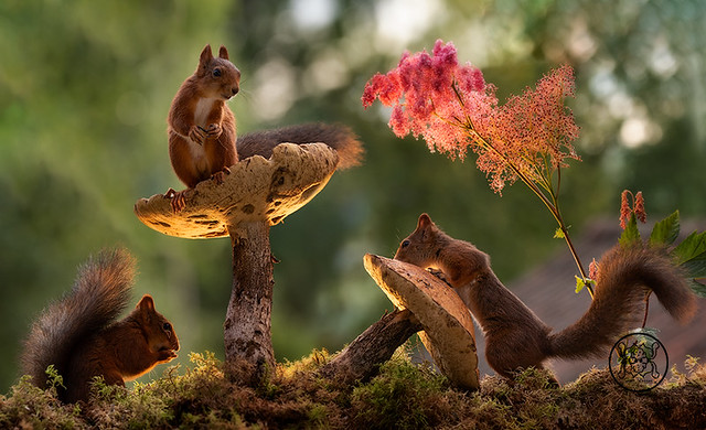 red squirrels standing with mushrooms