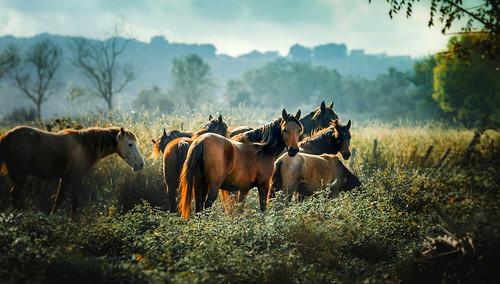 Wild horses in nature