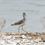 Greater yellowlegs, Coastal Center at Milford Point
