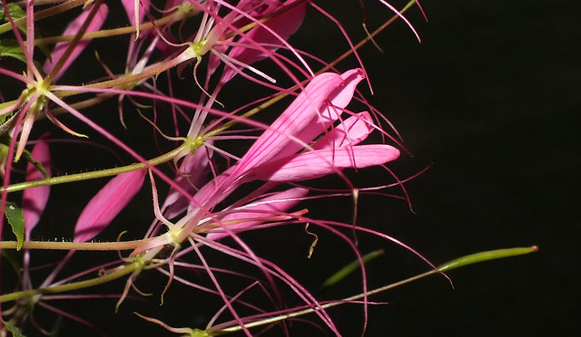 Pink spider plant (Cleome hassleriana) flowers