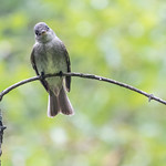 Eastern wood pewee, Central Park