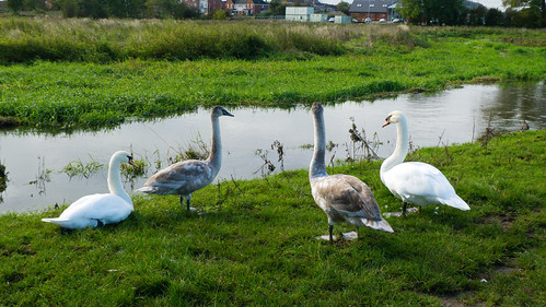 Two swan families, River Sow, Stafford