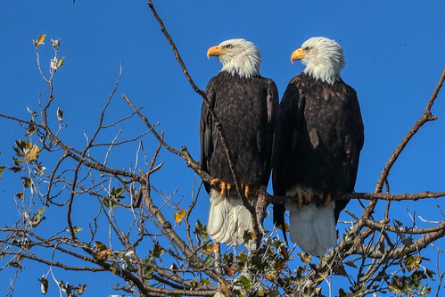 Mr. & Mrs Eagle on a sunny day © EXPLORE - Click to view large