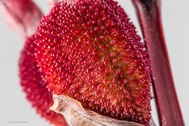planta roja-1