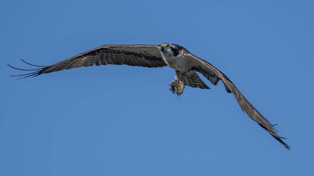 Osprey  6591