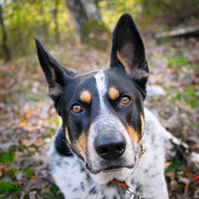 pies ratowniczy