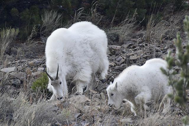 Rocky Mountain Goats (Oreamnos americanus)_DDZ3785