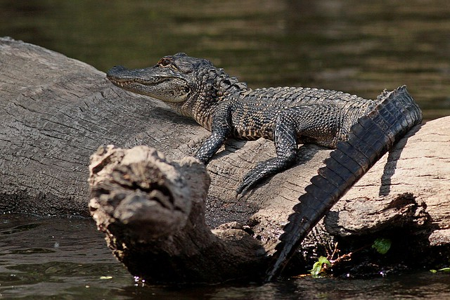 Rolf_Nagel-Fl-5331-Alligator mississippiensis