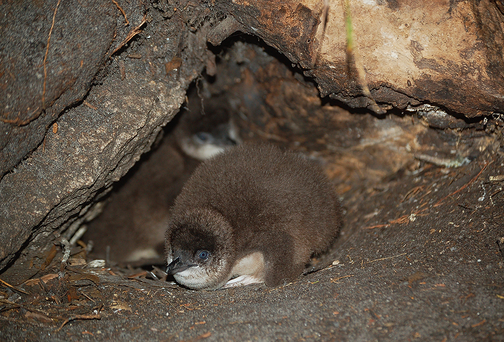 Little_penguin_Tasmania_coast_1