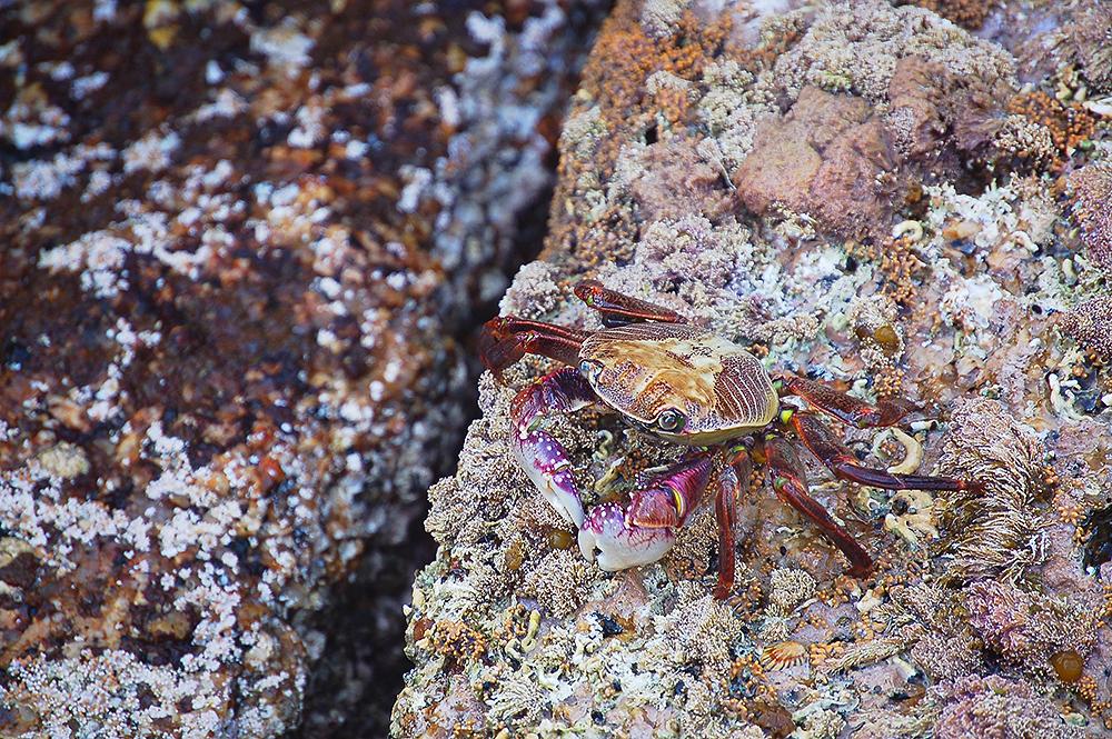 crab_Tasmania_coast_1