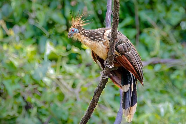 Amazon bird Hoatzin...Rainforest /Peru