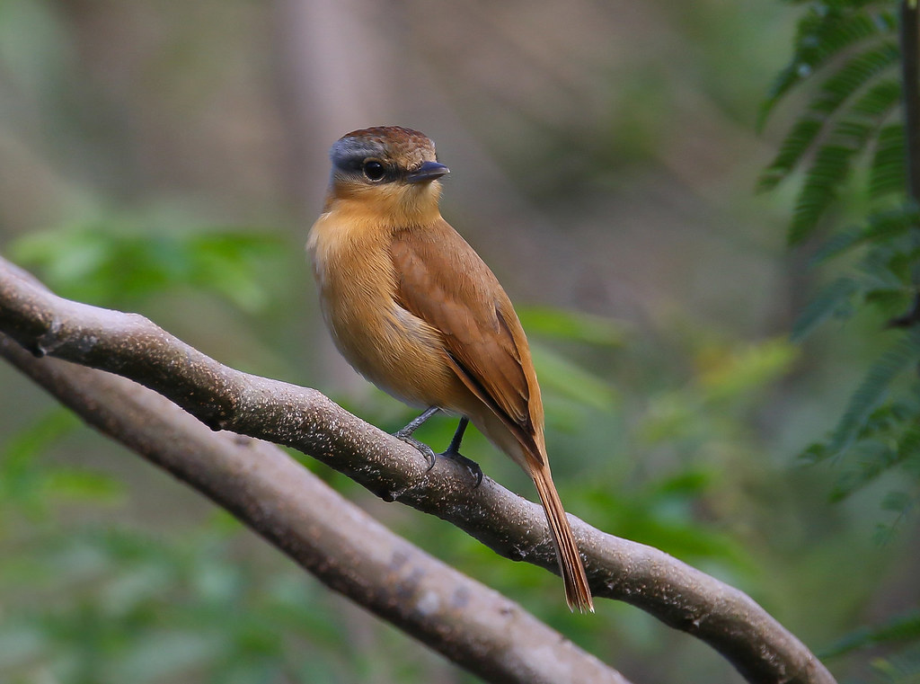 Caneleiro / Chestnut-crowned Becard