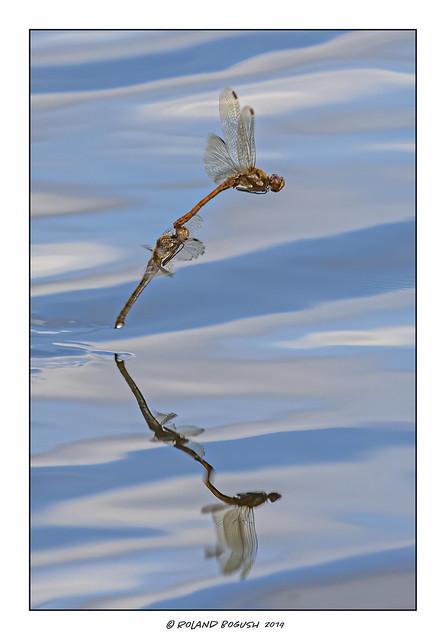 Common Darter Dragonflies conjoined in flight ovipositing
