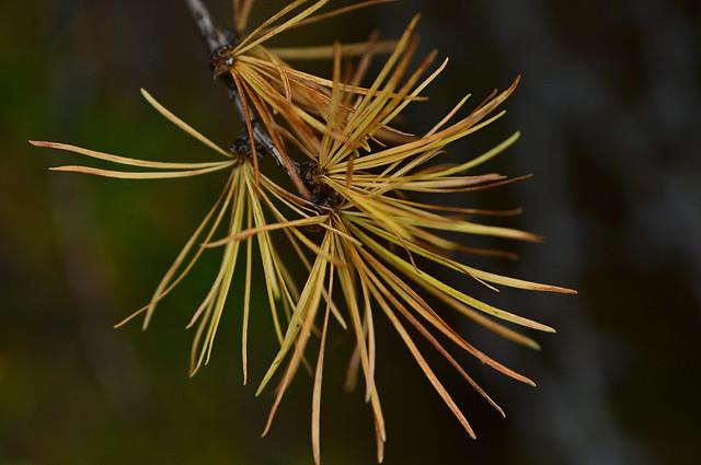 Autumn leaves of Karamatsu