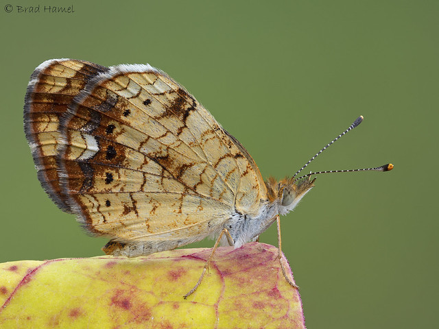 A little pearl crescent butterfly on a colorful fall leaf.