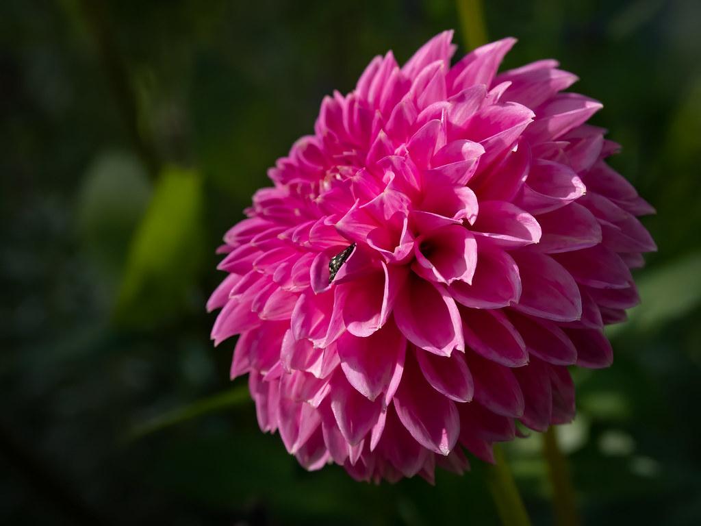 Le Dahlia rose... 48966913092_798db6d8c7_b