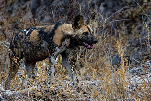 African Wild Dogs in Madikwe-3