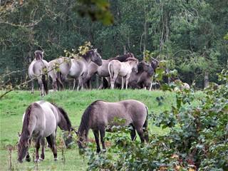 royal horses roaming