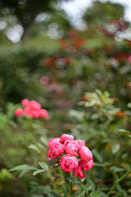 Autumn rose in Harbor View Park (Minato-no-mieru oka koen),Yokohama city 2019/09 No.1.